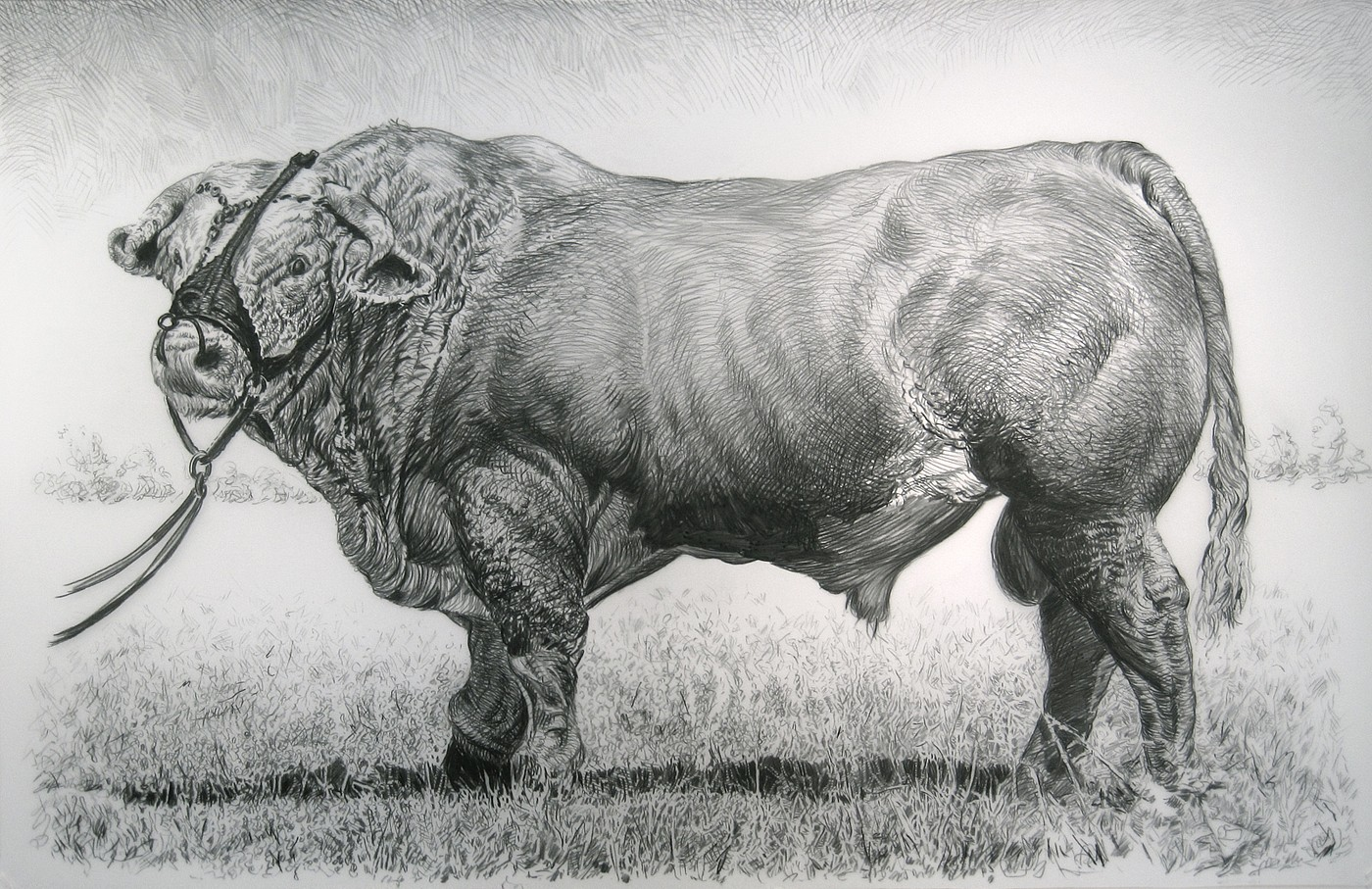 Rick Shaefer   Bull , 2014  shaef025   charcoal on vellum, 45 x 65 inches